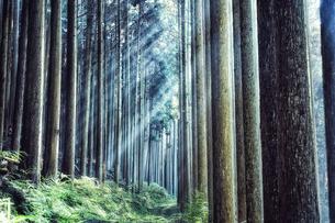スギの群生林の隙間から差し込む太陽の光の写真素材 [FYI04668541]