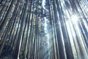 スギの群生林の隙間から差し込む太陽の光の写真素材 [FYI04668542]