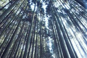 スギの群生林の隙間から差し込む太陽の光の写真素材 [FYI04668543]