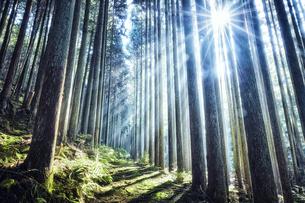 スギの群生林の隙間から差し込む太陽の光の写真素材 [FYI04668544]