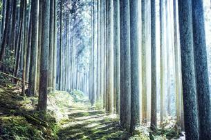 スギの群生林の隙間から差し込む太陽の光の写真素材 [FYI04668546]