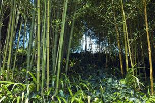 緑が茂った竹林の写真素材 [FYI04668555]