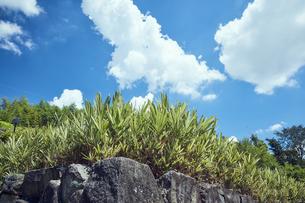 石垣とチゴザサと夏の青空の写真素材 [FYI04668556]