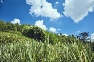 チゴザサと夏の青空の写真素材 [FYI04668557]
