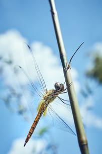 竹の枝に止まるトンボの写真素材 [FYI04668558]