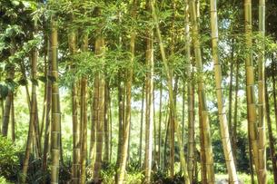 黄色い竹の竹林の写真素材 [FYI04668559]
