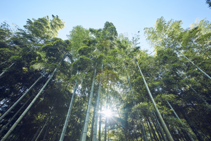 太陽の光が差し込む竹林の写真素材 [FYI04668565]