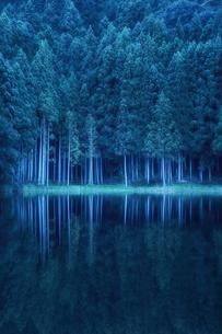 早朝の湖に映り込むスギの群生林の写真素材 [FYI04668567]