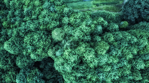 真上から見たスギの群生林の写真素材 [FYI04668571]