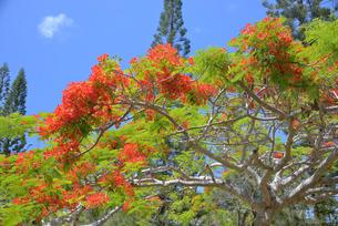 ニューカレドニアの植物、フランボワインの写真素材 [FYI04668804]