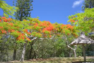 ニューカレドニアの植物、フランボワインの写真素材 [FYI04668806]