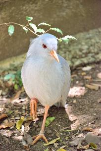 ニューカレドニアの国鳥、白い羽のカグーの写真素材 [FYI04668807]