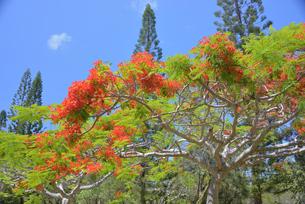 ニューカレドニアの植物、フランボワインの写真素材 [FYI04668814]