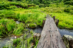 シラタマノキ湿原泥炭地の写真素材 [FYI04668826]