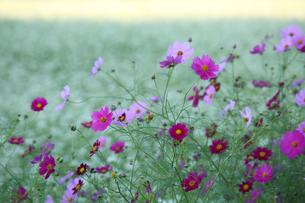 コスモスとソバの花の写真素材 [FYI04668879]