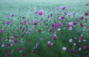コスモスとソバの花の写真素材 [FYI04668880]