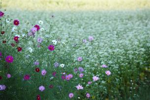 コスモスとソバの花の写真素材 [FYI04668881]