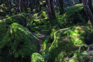 八ヶ岳 光差す苔の林床(もののけの森)の写真素材 [FYI04668906]