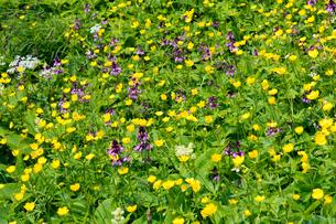 ミヤマキンポウゲとヨツバシオガマの花畑(乗鞍岳畳平)の写真素材 [FYI04668914]