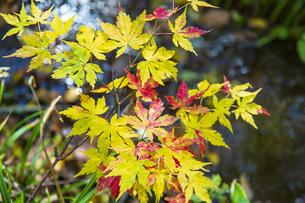 盛秋の戸隠高原森林植物園の写真素材 [FYI04669012]