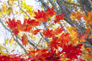 盛秋の戸隠高原森林植物園の写真素材 [FYI04669025]