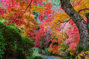 金毘羅さんの裏参道を見下ろすカラフルな紅葉の写真素材 [FYI04669050]