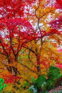 金毘羅さんの裏参道を見下ろすカラフルな紅葉の写真素材 [FYI04669052]