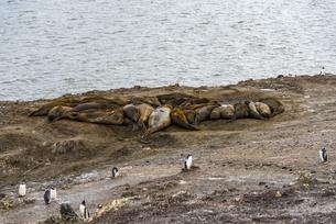 ミナミゾウアザラシのコロニーとジェンツーペンギンの写真素材 [FYI04669054]