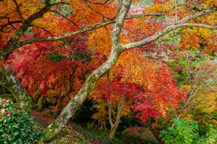 金毘羅さんの裏参道を見下ろすカラフルな紅葉の写真素材 [FYI04669062]