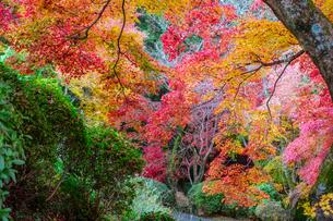 金毘羅さんの裏参道を見下ろすカラフルな紅葉の写真素材 [FYI04669064]
