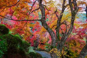 金毘羅さんの裏参道を見下ろすカラフルな紅葉の写真素材 [FYI04669069]