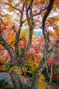 金毘羅さんの裏参道を見下ろすカラフルな紅葉の写真素材 [FYI04669072]
