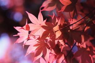 紅葉の写真素材 [FYI04669176]