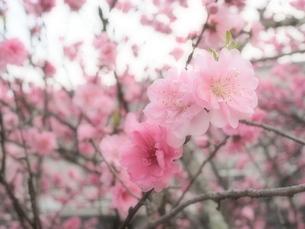 桜の写真素材 [FYI04669190]