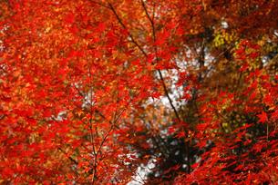 京都の紅葉 真っ赤な紅葉の景色 美しいいろはもみじの素材の写真素材 [FYI04669209]