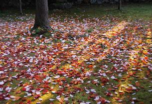 京都の紅葉 敷き紅葉と山茶花の花びら 日の光の写真素材 [FYI04669214]