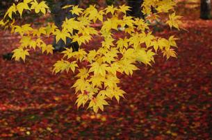 京都 もみじの赤いカーッペット 黄色いもみじの写真素材 [FYI04669215]