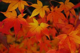 京都 いろはもみじ 美しい紅葉の葉の写真素材の写真素材 [FYI04669218]