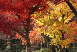 京都の紅葉の風景 西山善峰寺 黄色と赤い美しいもみじの風景の写真素材 [FYI04669219]
