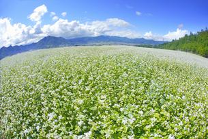 東山観光農園の蕎麦畑と独鈷山などの里山の写真素材 [FYI04669303]