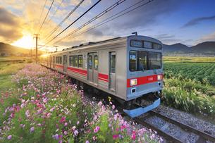 五加のコスモスと別所線の朝日に輝く1000系電車の写真素材 [FYI04669374]
