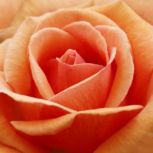 オレンジのバラの写真素材 [FYI04669553]