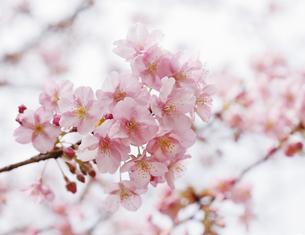 満開に咲く河津桜の写真素材 [FYI04669555]