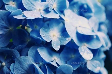 雨に濡れる紫陽花の写真素材 [FYI04669568]