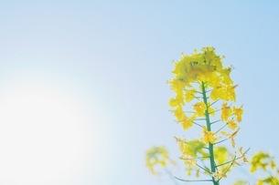 菜の花と青空の写真素材 [FYI04669569]