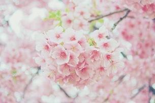 桜の写真素材 [FYI04669570]