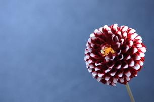 ダリアの花の写真素材 [FYI04669572]