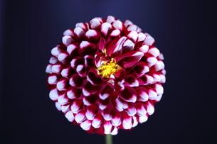 ダリア、花言葉は優雅の写真素材 [FYI04669573]