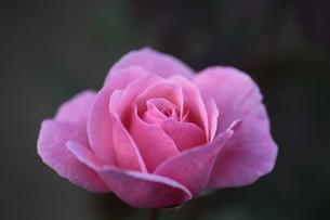 優雅に咲く薔薇の花の写真素材 [FYI04669579]