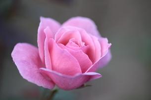ピンクの薔薇の写真素材 [FYI04669580]